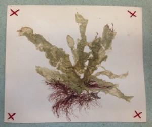 Bermuda 1890 specimen 2